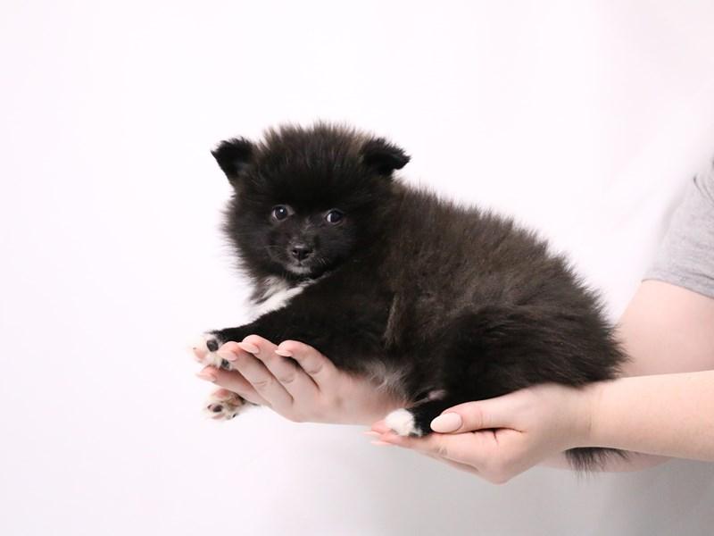 Pomeranian-Male-Black-3182219-My Next Puppy