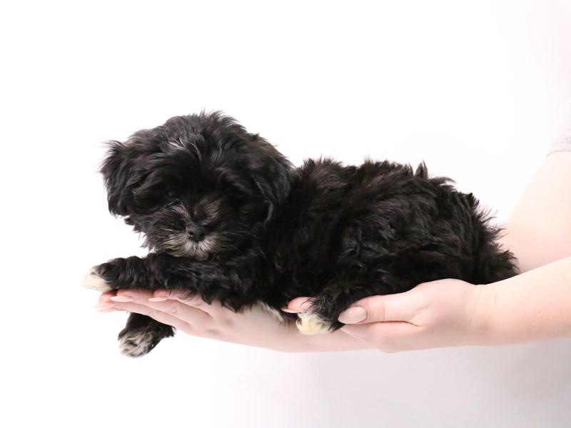 Havanese-Male-Black-3181748-My Next Puppy