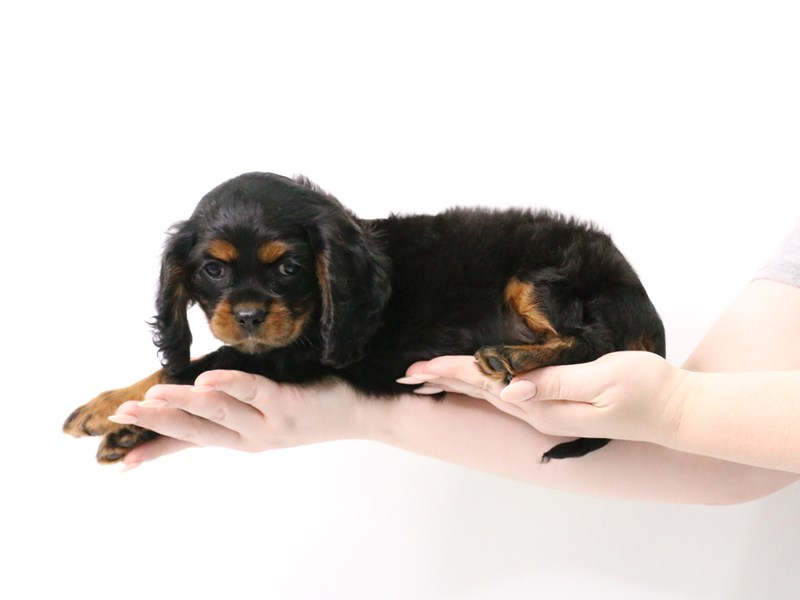 Cockalier-Male-Black and Tan-3181797-My Next Puppy