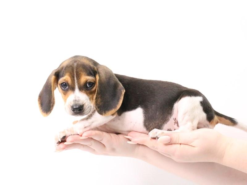 Beagle-Female-Black White and Tan-3181847-My Next Puppy