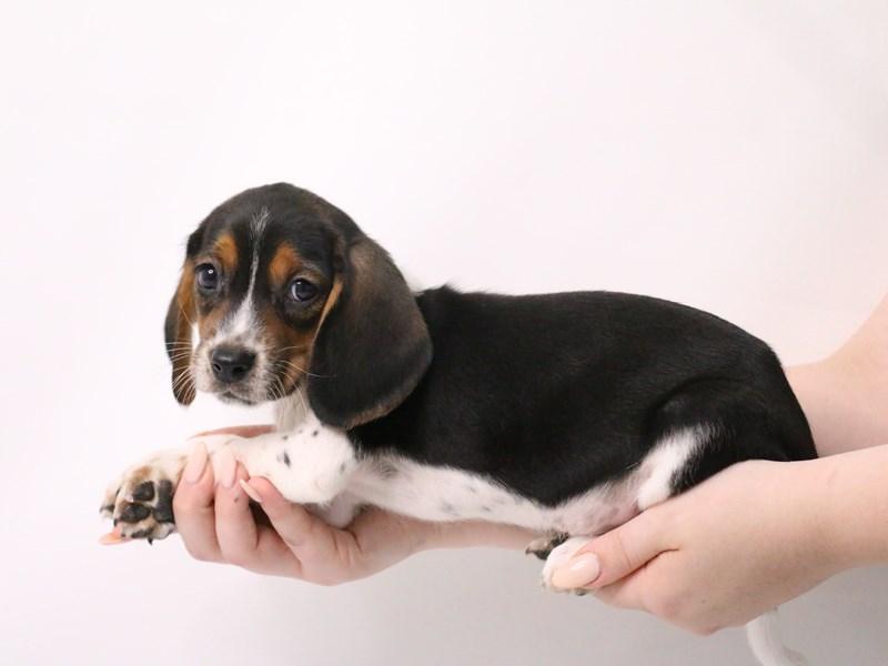 Beagle-Male-Black White / Tan-3190014-My Next Puppy