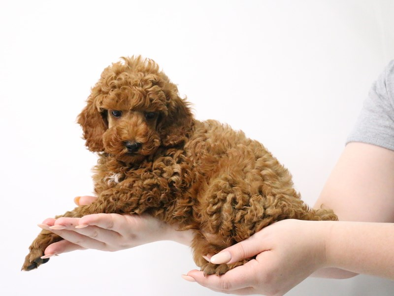 Miniature Poodle-Male-Red-3190017-My Next Puppy