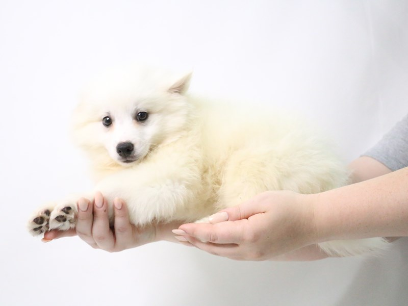 American Eskimo-Female-White-3190018-My Next Puppy