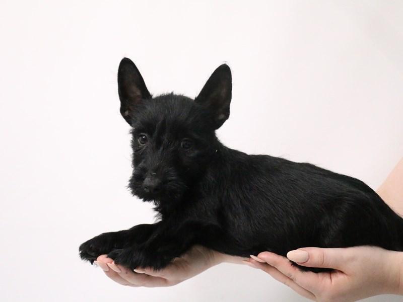 Scottish Terrier-Male-Black-3190540-My Next Puppy