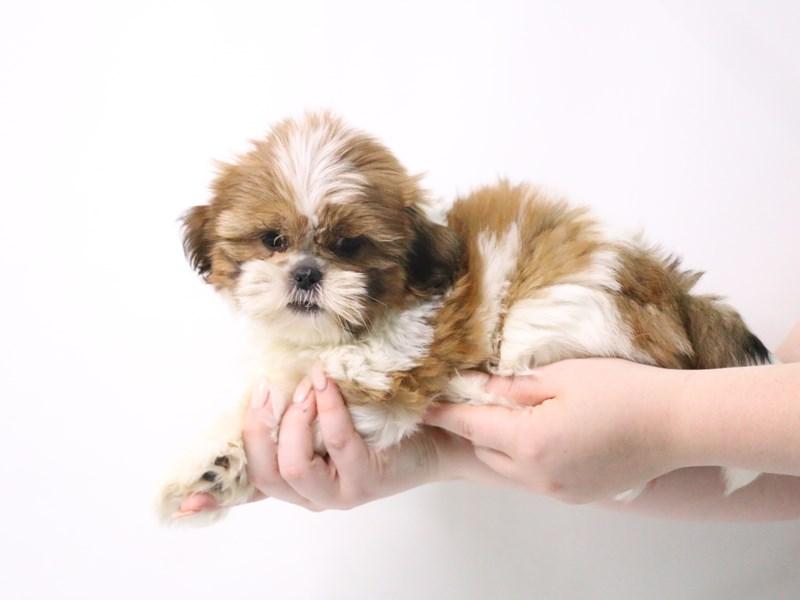 Shih Tzu-Female-Red and White-3191055-My Next Puppy