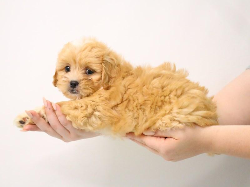 Peekapoo-Male--3194933-My Next Puppy