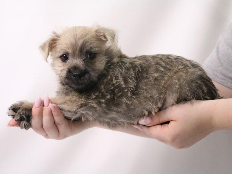 Cairn Terrier-Male-Wheaten-3199380-My Next Puppy