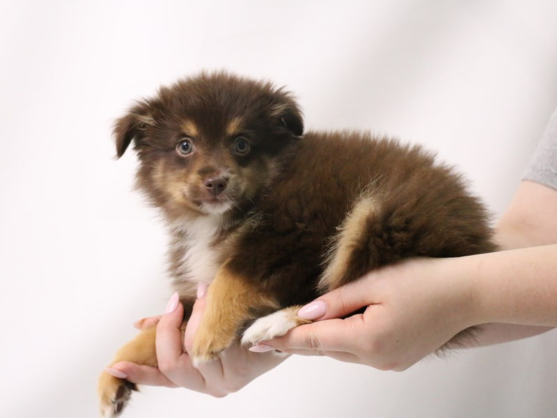 Miniature Australian Shepherd-Female-Chocolate / Tan-3199382-My Next Puppy