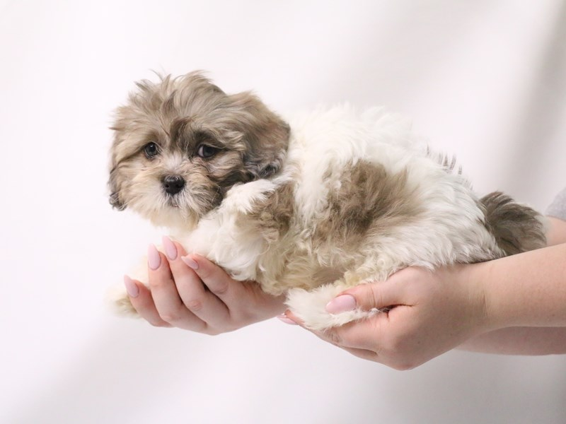 Shihpoo-Female-White / Blue Merle-3199383-My Next Puppy