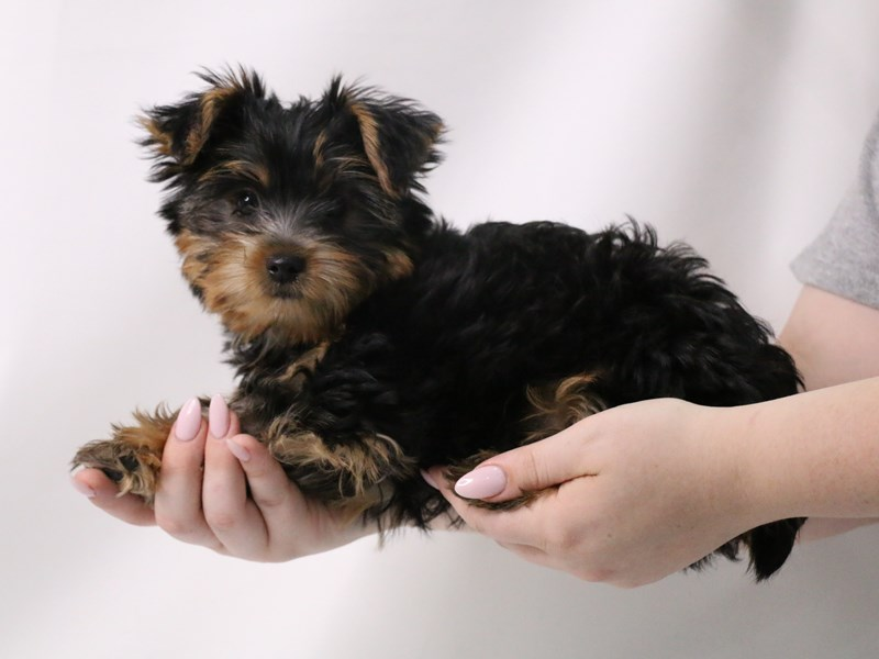 Yorkshire Terrier-Male-Black / Tan-3199386-My Next Puppy