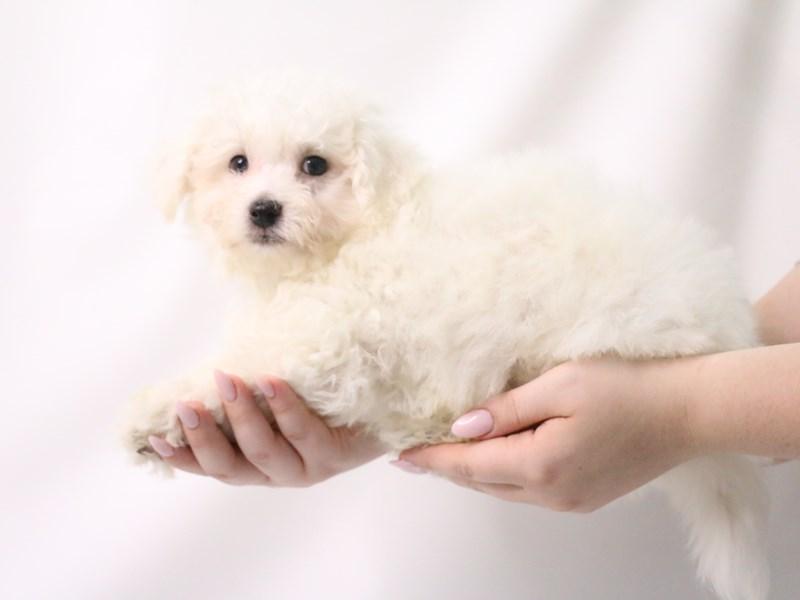 Bichon Frise-Male-White-3199387-My Next Puppy
