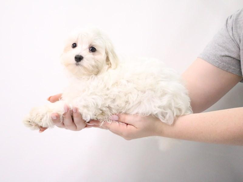 Maltese-Male-White-3199392-My Next Puppy