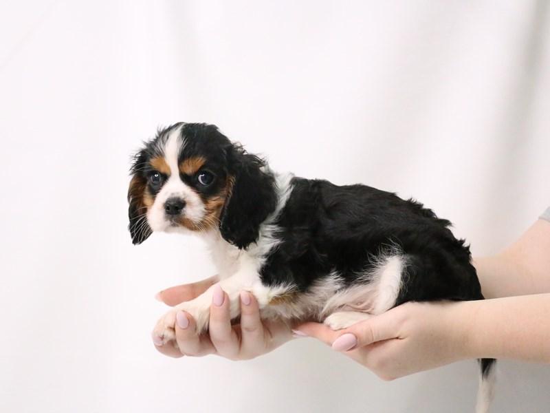 Cavalier King Charles Spaniel-Male-Black / White-3199393-My Next Puppy