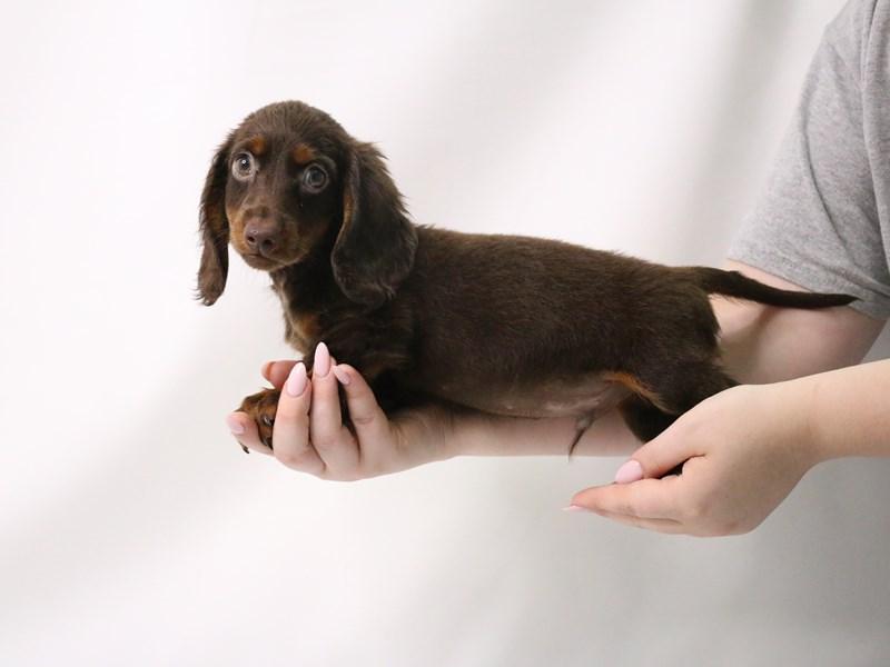 Miniature Dachshund-Male-Chocolate / Tan-3199404-My Next Puppy