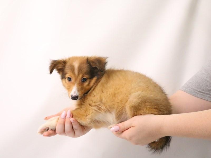 Shetland Sheepdog-Female-Sable / White-3199406-My Next Puppy