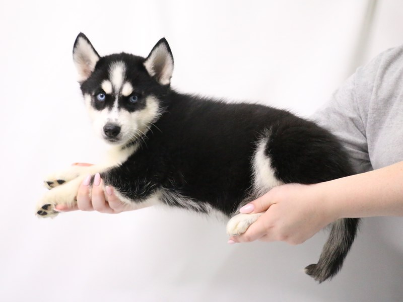 Siberian Husky-Male-Black White / Cream-3199409-My Next Puppy