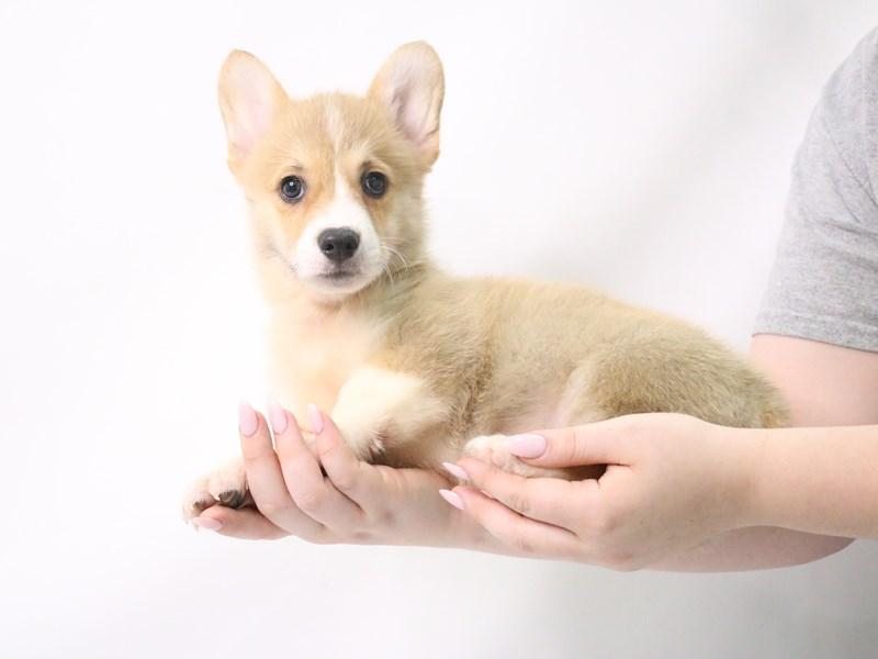 Pembroke Welsh Corgi-Male-Red-3200087-My Next Puppy