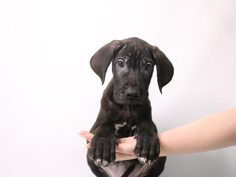 Great Dane-Male-Black-3200167-My Next Puppy