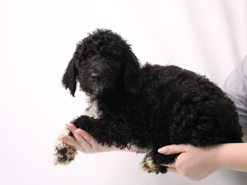 Sheepadoodle-Female-Black-3209052-My Next Puppy