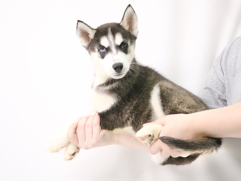 Siberian Husky-Female-Black / White-3209053-My Next Puppy