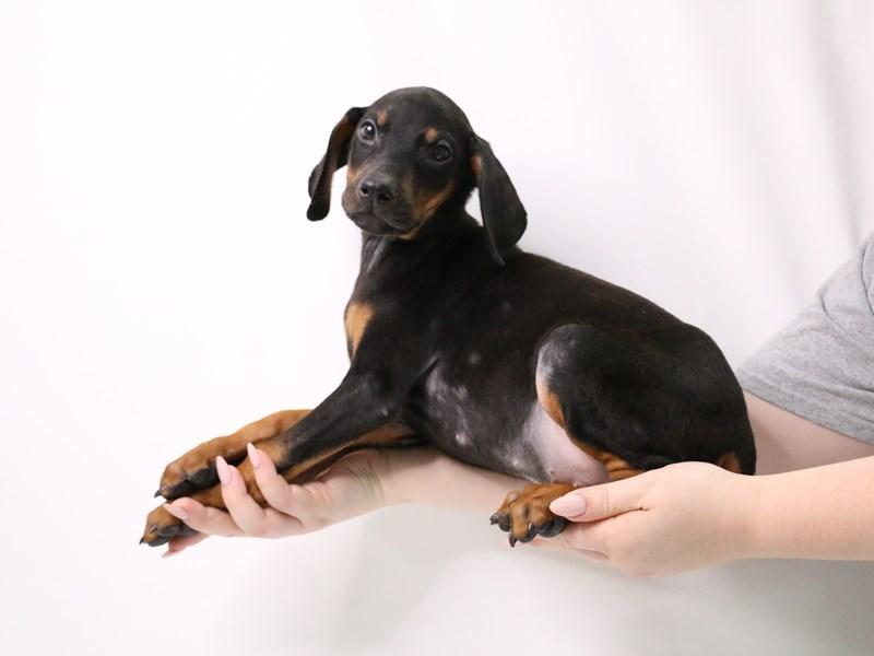 Doberman Pinscher-Male-Black / Rust-3209058-My Next Puppy