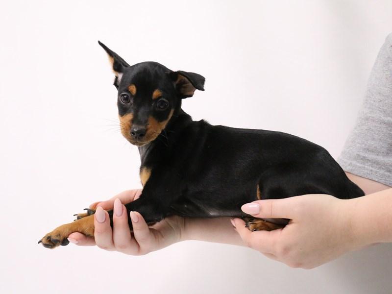 Miniature Pinscher-Female-Black / Rust-3209059-My Next Puppy