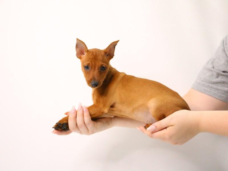 Miniature Pinscher-Female-Red-3209060-My Next Puppy
