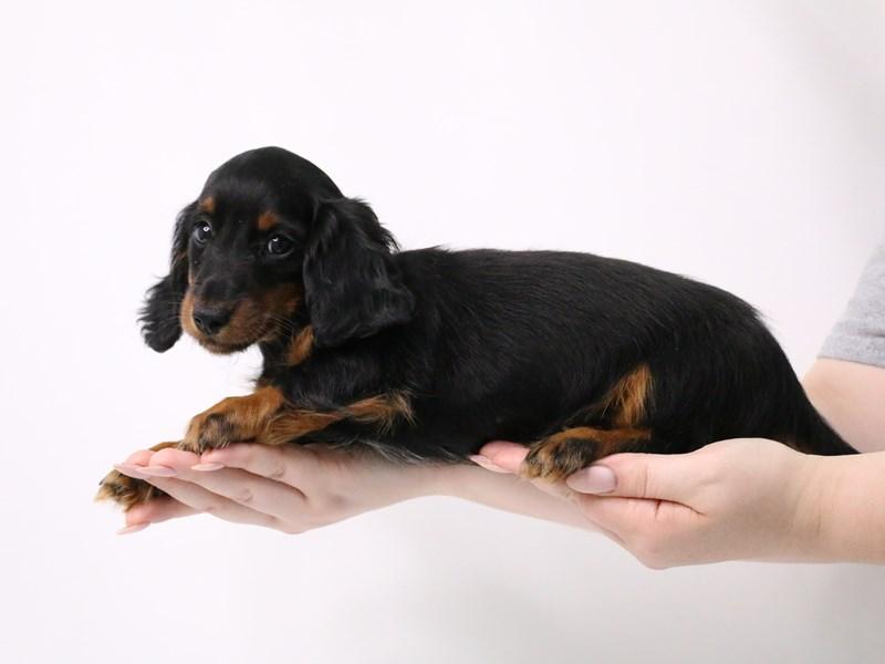Miniature Dachshund-Female-Black / Tan-3209066-My Next Puppy