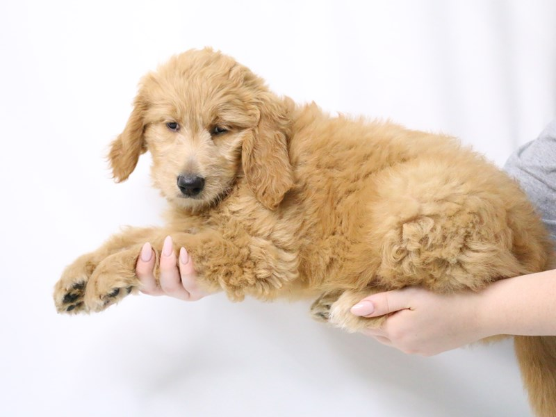 Goldendoodle-Female-Red-3209067-My Next Puppy