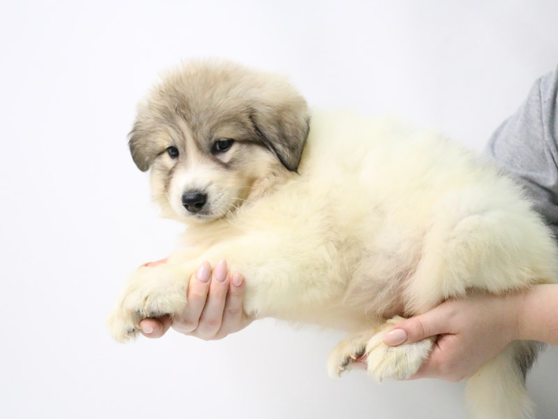Great Pyrenees-Female-White-3209047-My Next Puppy