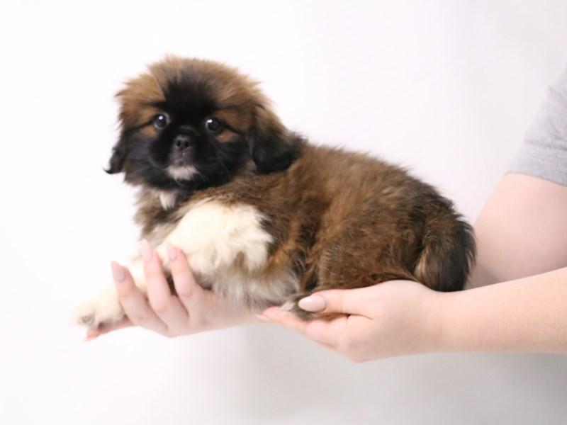 Pekingese-Female-Brown / White-3209043-My Next Puppy