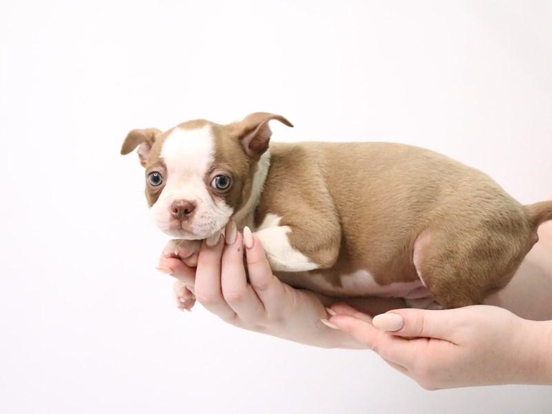 Boston Terrier-Female-Seal / White-3190542-My Next Puppy