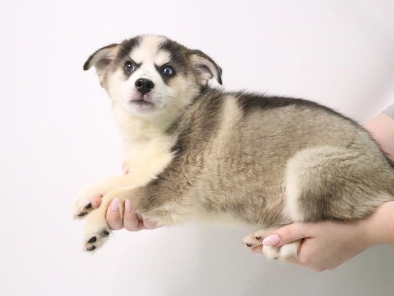 Pomsky-Female-Black / White-3199374-My Next Puppy