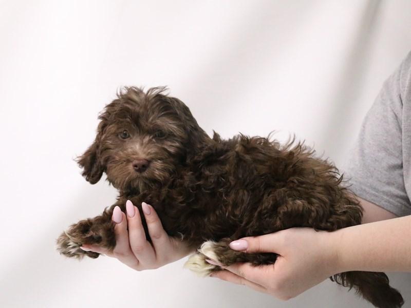 Havanese-Male-Chocolate-3199377-My Next Puppy