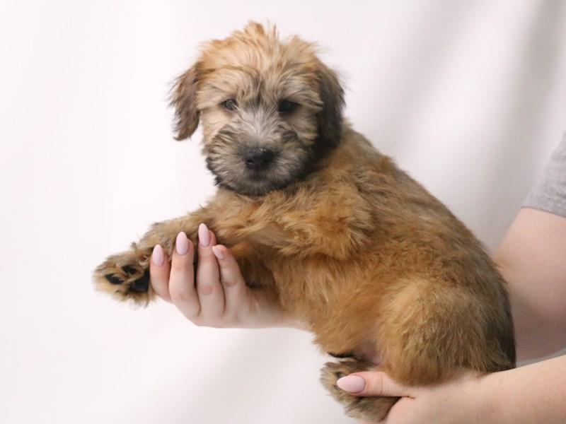 Soft Coated Wheaten Terrier-Male-Wheaten-3199379-My Next Puppy