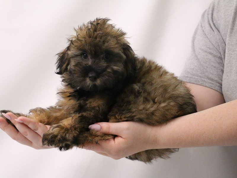 Miniature Aussie Poo-Male-Cafe Au Lait-3199384-My Next Puppy