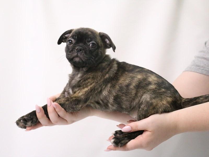 Bugg-Female-Brindle-3199395-My Next Puppy