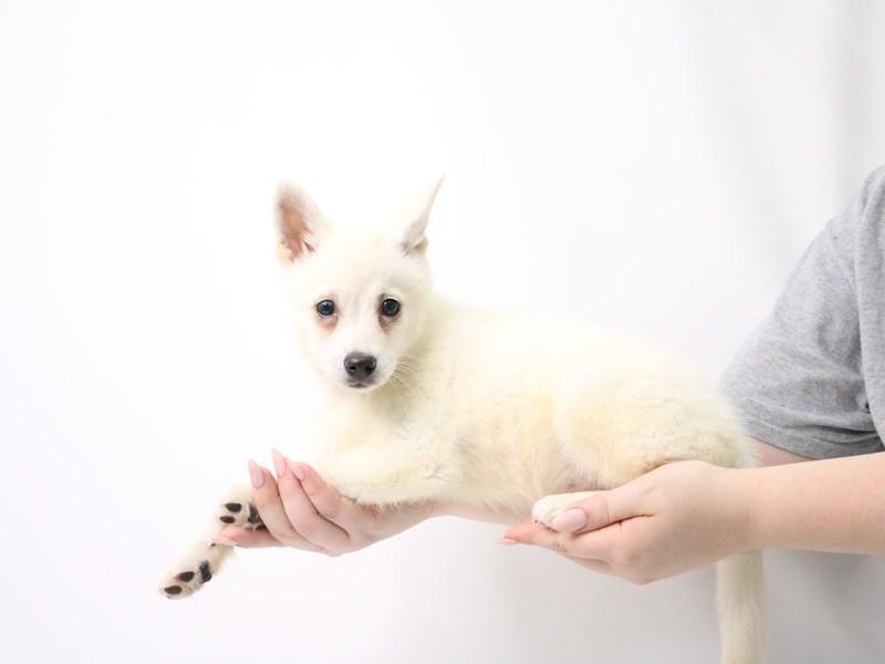 Alaskan Klee Kai-Male-White-3209062-My Next Puppy