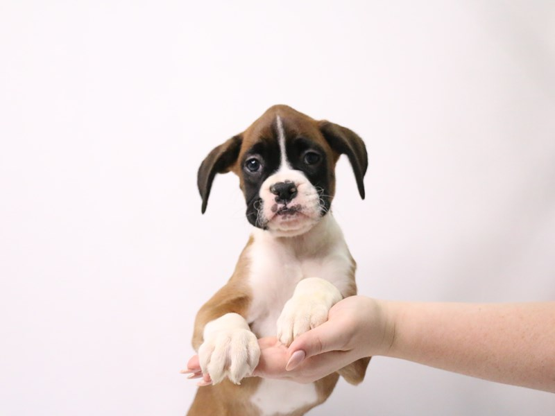 Boxer-Female-Fawn-3209050-My Next Puppy