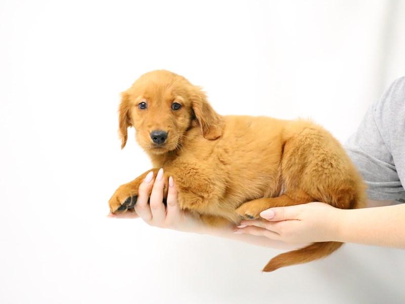 Golden Retriever-Female-Golden-3209072-My Next Puppy