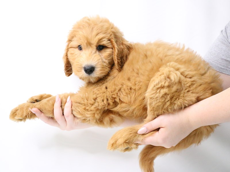 Goldendoodle 2nd Gen-Male-Apricot-3223337-My Next Puppy