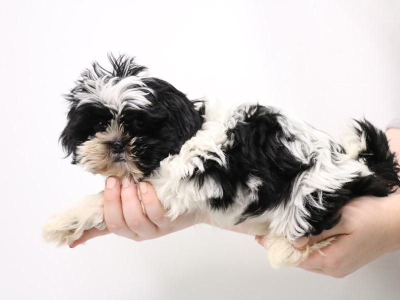 Shih Tzu-Male-Black and White-3238673-My Next Puppy
