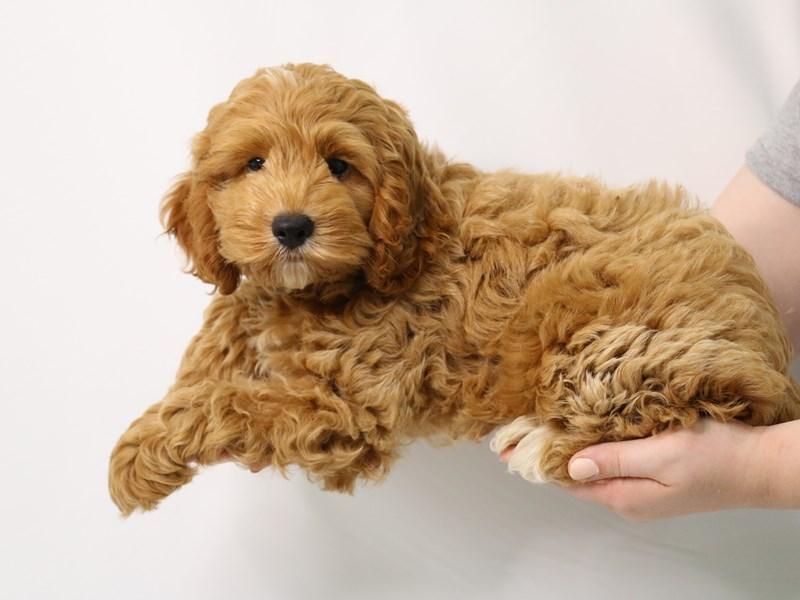 Cockapoo-Male-Apricot-3238353-My Next Puppy