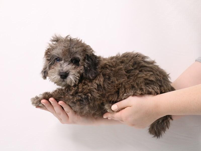 Cavapoo-Male-Blue Merle-3238345-My Next Puppy