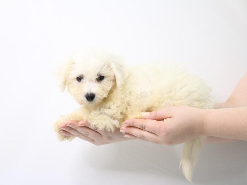 Bichon Frise-Male-White-3238357-My Next Puppy