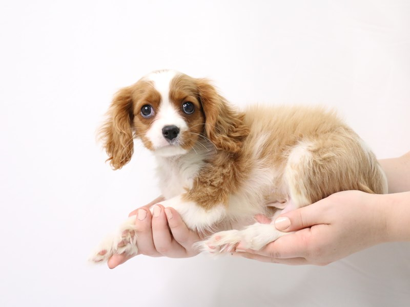 Cavalier King Charles Spaniel-Male-Blenheim / White-3238332-My Next Puppy