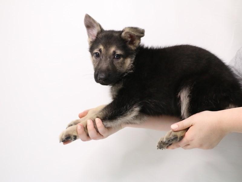 German Shepherd-Male-Black / Tan-3238331-My Next Puppy