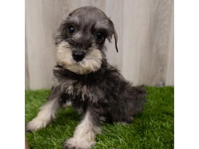 Miniature Schnauzer-Male-Salt / Pepper-3247656-My Next Puppy