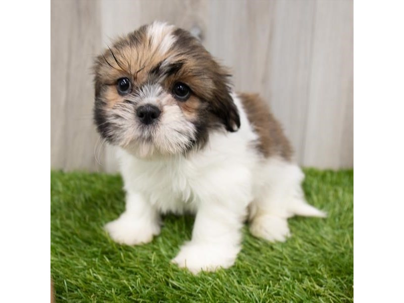 Shih Tzu-Male-Gold / White-3247657-My Next Puppy
