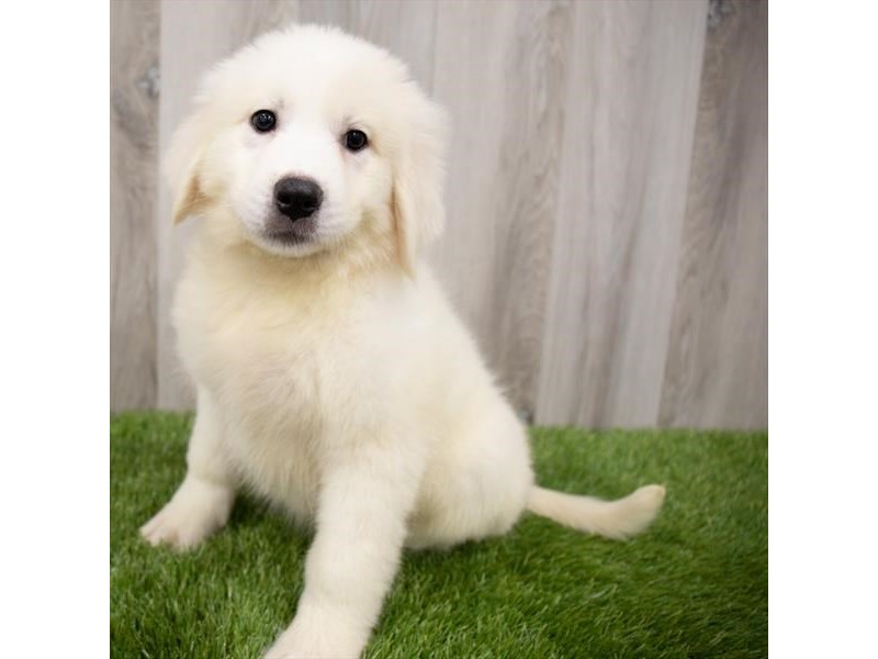 Great Pyrenees-Female-White-3247658-My Next Puppy